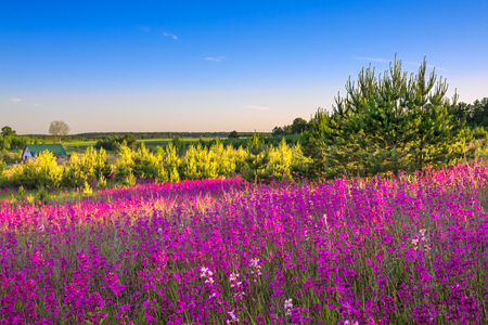 beautiful spring landscape with flowering flowers in meadow and sunrise. view of a blooming field with purple wild flowers  版權商用圖片