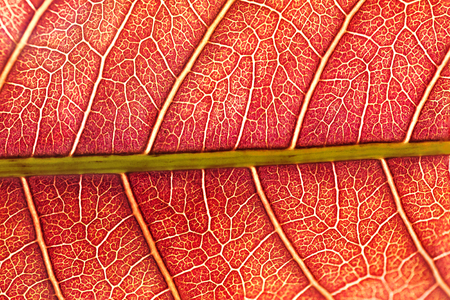 red young leaves of tree mango closeup. abstract background of surface leaf macro