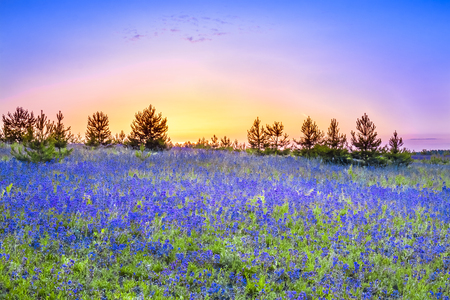 beautiful spring landscape with  flowering blue flowers in meadow and sunrise. wildflowers blooming on summer field. wild scenery with night wonderful