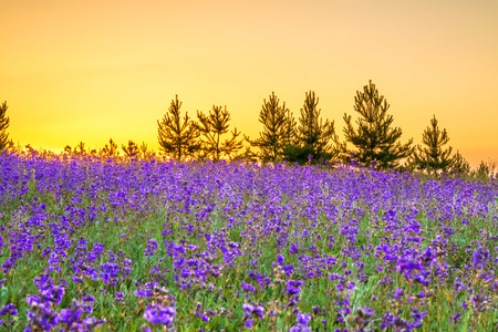 beautiful spring landscape with  flowering purple flowers in meadow and sunrise. wildflowers blooming on summer field. wild scenery with night wonderful