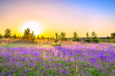 beautiful spring landscape with  flowering purple flowers on meadow and sunrise. wildflowers blooming on summer field. wild scenery with sunset wonderful
