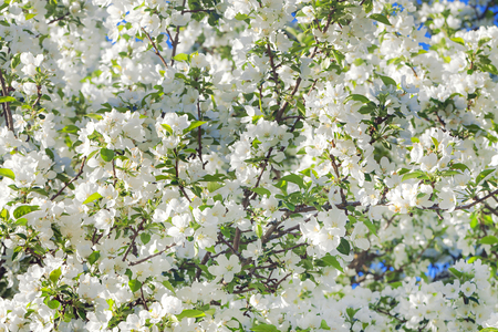 background of spring flowering tree. white flowers blossom in spring in garden on an apple tree