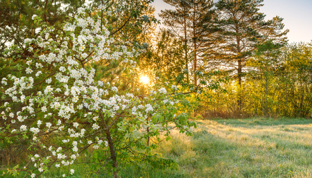 beautiful spring forest panorama landscape with a flowering apple tree and a meadow. sunrise over forest and meadow, sun shines through trees. panoramic view Stock Photo
