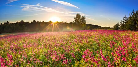 beautiful spring landscape with flowering meadow,forest and sunrise. wild purple flowers bloomed in field