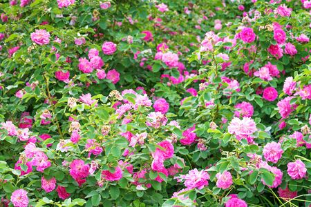 purple rose bushes flowering in garden panoramic view . panorama of pink roses blossoming in ornamental garden.