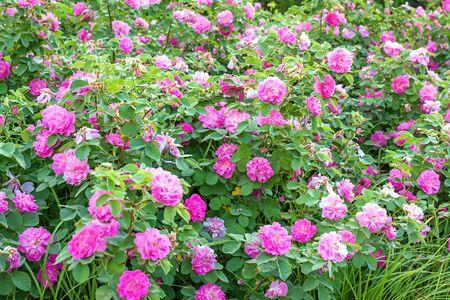 purple flowers rose bushes flowering in garden. flower bed of pink roses blossoming in ornamental garden.