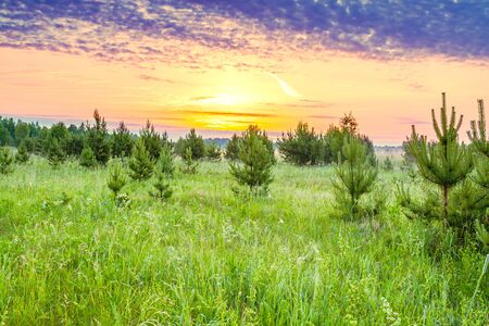 beautiful rural spring landscape with forest and meadow at sunrise. young pine trees grow in forest 版權商用圖片