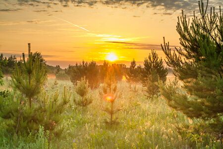 beautiful blurred spring landscape with forest and meadow at sunrise. young pine trees grow in forest