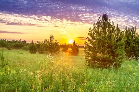 beautiful spring landscape with forest and meadow at sunrise. young pine trees grow in forest