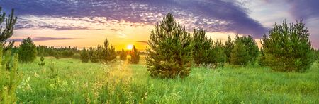 beautiful  panorama spring landscape with forest and meadow at sunrise. young pine trees grow in forest, panoramic view