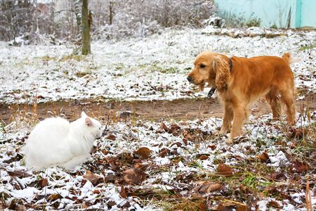 conflict between dog and cat. Pets cat angora and dog cocker spaniel confrontation and clash outdoors Фото со стока