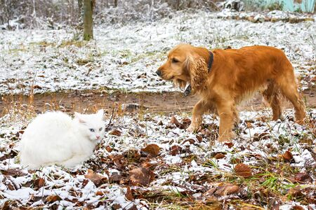 conflict between dog and cat. Pets cat angora and dog cocker spaniel confrontation and clash outdoors Фото со стока - 129242015
