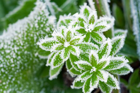 green grass on meadow is covered with snow top view. frost in autumn garden, frost on grass