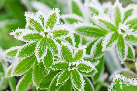 green grass on meadow is covered with snow. frost in autumn garden, frost on grass