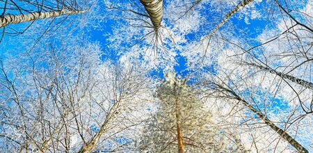 winter forest trees are covered with snow panoramic view. beautiful winter landscape panorama with forest and blue sky