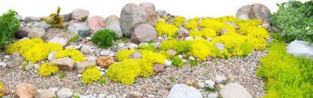 panorama of rockery rock garden isolated on white background. gardening background panoramic view. gardener backyard design element. flowers sedum flowering spring