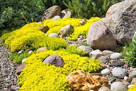 rockery rock garden. gardening background. gardener backyard design element. flowers sedum flowering spring