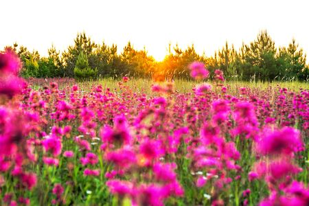 beautiful spring landscape with blooming purple flowers on meadow and sunrise. blurred scenery background of flowering wildflowers on field. landscape with flowers isolated on white background