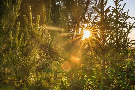 sun rays shines through trees in forest. summer landscape with forest and sun