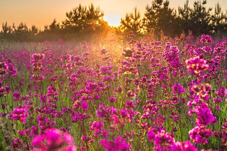 beautiful spring landscape with blooming purple flowers on meadow and sunrise. blurred scenery background of flowering wild flowers on field