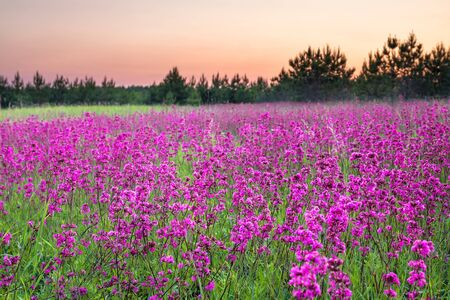 beautiful spring landscape with flowering flowers on meadow and sunrise. view of a blooming field with purple wild flowers