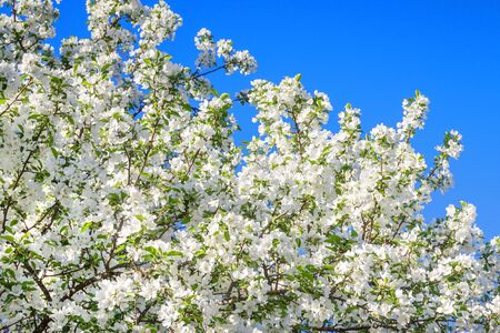background of spring flowering tree. white flowers blossom in spring in orchard garden on an apple tree