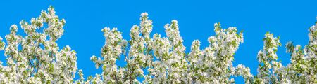 panorama of spring flowering tree. white flowers blossom in spring in orchard garden on an apple tree panoramic view