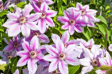 flowering purple flowers on a flower bed in garden. blooming clematis flowers in park