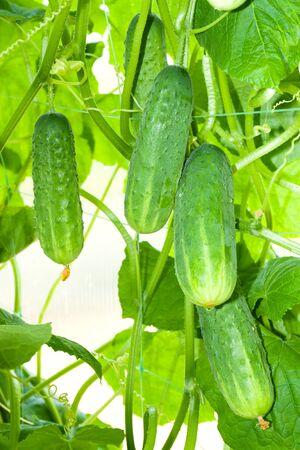 crop of fresh green cucumbers hangs in the greenhouse. agriculture crop of fresh vegetables 版權商用圖片