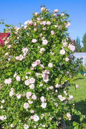 bush of pink roses flowering in ornamental garden. pink flowers blooming in backyard 版權商用圖片
