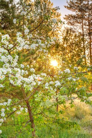 beautiful spring forest landscape with a flowering apple tree and a meadow. sunrise over forest and meadow, sun shines through trees 版權商用圖片