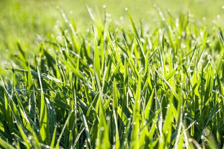 green background of grass in a meadow. spring blurred lawn with grass and dew drops