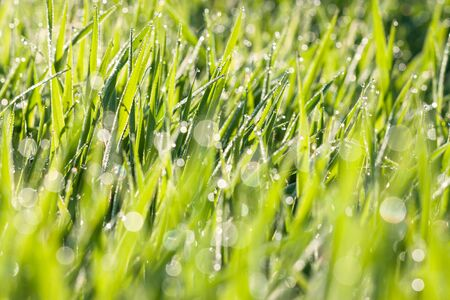 green background of grass in a meadow. spring blurred lawn with grass with dew drops