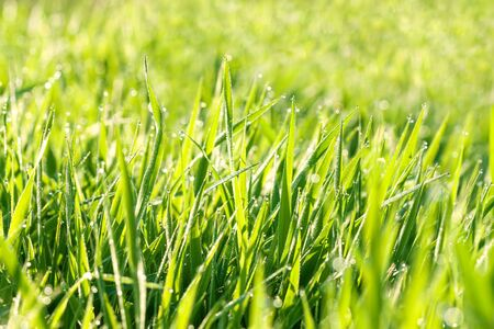 green background of grass in a meadow. agriculture field with grass for livestock feed pasture 版權商用圖片