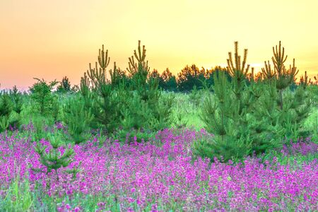 beautiful amazing spring landscape with  flowering purple flowers in meadow and sunrise. wildflowers blooming on summer field. wild scenery with night wonderful