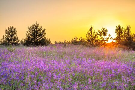 beautiful amazing spring landscape with  flowering purple flowers in meadow and sunrise. wildflowers blooming on summer field. wild scenery with blurred foreground