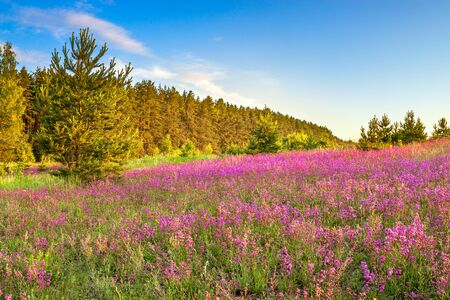 beautiful amazing spring landscape with  flowering purple flowers on meadow and sunrise. wildflowers blooming on summer field. wild scenery with sunset wonderful