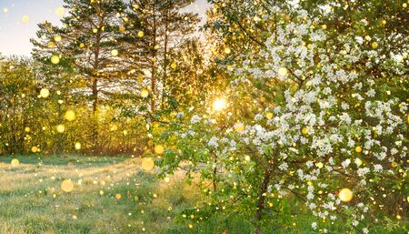 beautiful amazing spring forest panorama landscape with a flowering apple tree and a meadow. sunrise over forest and meadow, sun shines through trees. panoramic view