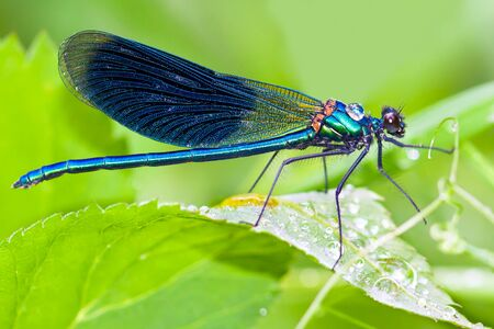 blue dragonfly is sitting on grass in a meadow. insect dragonfly close up macro