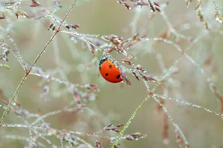 spring meadow with ladybug close up macro. wild life insect ladybird on grass