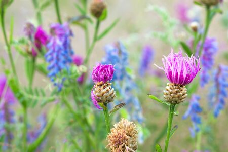 beautiful flowers blue purple blossom on a spring meadow. wild flowers flowering on field 版權商用圖片