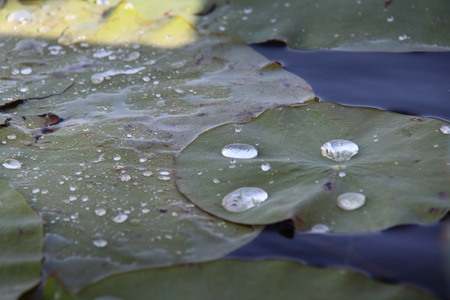 waterlillies: Water drops captured on lillies Stock Photo