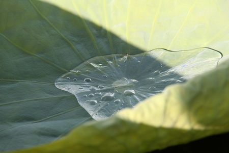 waterlillies: Water retained by lillies