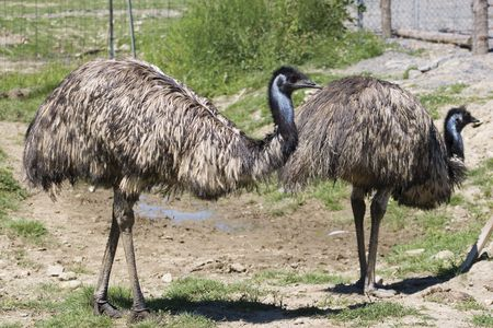 adelaide: couple of emu walking around in a farm Stock Photo