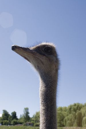 Close-up of an ostrich head against blue sky photo