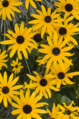 daisys: yellow daisys growing in the wild