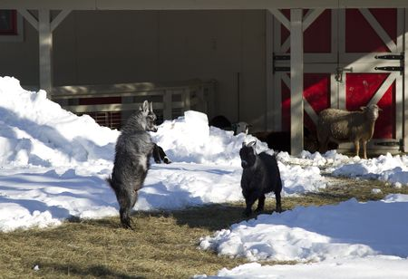 two goat figthing with sheep looking in a snow covered farm photo