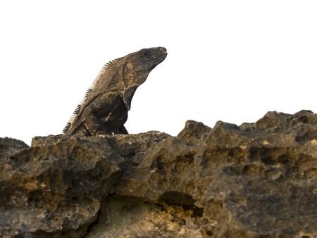 Gray iguana sunbathing on rocks Imagens