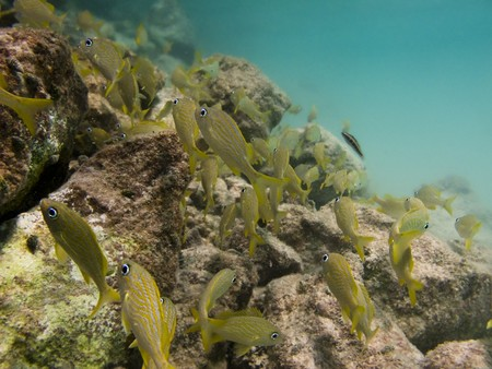School of cozumel juvenile fish swimming by a reef in aqua colored water Stock Photo - 7276063