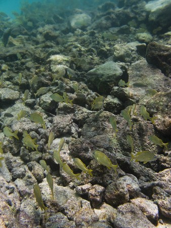 School of cozumel juvenile fish swimming by a reef photo